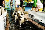 เพนกวินพาเหรดที่สวนสัตว์เขาเขียว.jpg