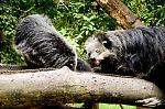 หมีขอสัตว์ตัวโปรดที่สวนสัตว์เปิด.jpg